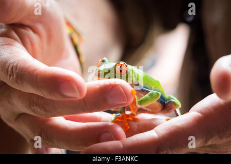 Costa Rica, Red Eyed Tree Frog in the hands of a guide in Tortuguero National Park - Stock Photo