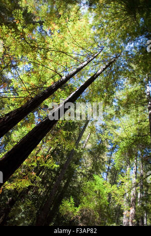Trees in Big Basin Redwoods State Park, California - Stock Photo