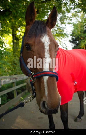 Close up of a horse in head collar and rug - Stock Photo