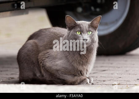 Gray cat with striking green eyes - Stock Photo