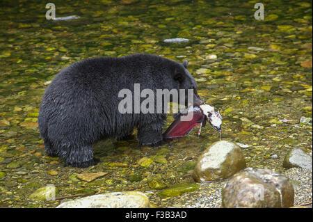 Black Bear (Ursus americanus) eating salmon,   Thornton Fish Hatchery, Ucluelet,  British Columbia, Canada - Stock Photo