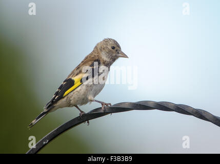 Greenfinch (Carduelis chloris) - juvenile perched on a metal crook, Norwich , Norfolk, England - Stock Photo