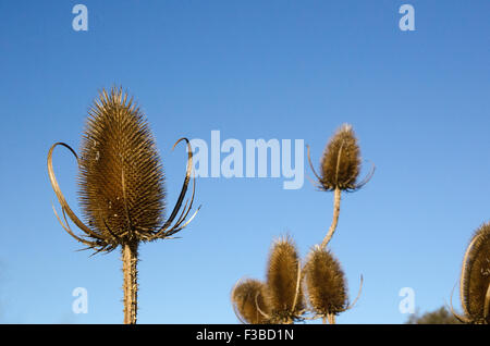 Fall thistle closeup at a clear blue sky - Stock Photo