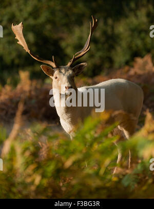 Male fallow deer (buck) standing in early morning light - Stock Photo