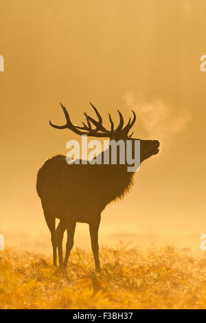 Silhouette of red deer stag in early morning light - Stock Photo