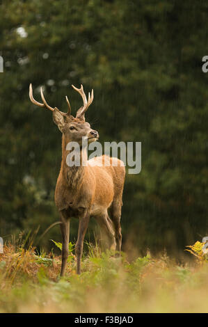 Red deer stag in woodland setting. Rain shower. - Stock Photo
