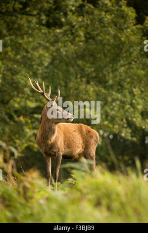Single red deer stag in woodland. Light shower. - Stock Photo