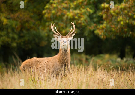 Single red deer stag in autumnal woodland - Stock Photo