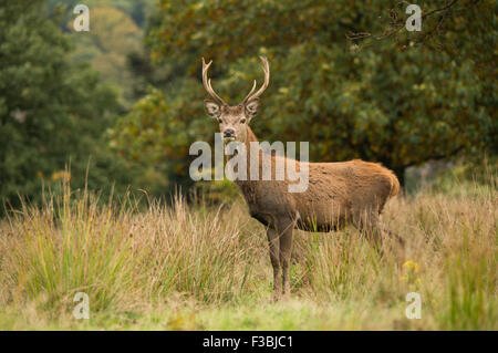 Single red deer stag in woodland setting - Stock Photo