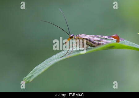 Male common scorpionfly (Panorpa communis) - Stock Photo