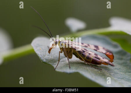 Male common scorpionfly (Panorpa communis) - Stock Photo