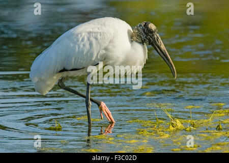 Wood Stork (Mycteria americana) feeding in pond with foot in the air. - Stock Photo