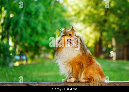 Shetland Sheepdog dog breed for a walk in the park. Cute pet. Sheltie in the street. - Stock Photo
