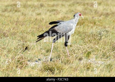 Secretary bird on the plains, Etosha National Park, Namibia - Stock Photo