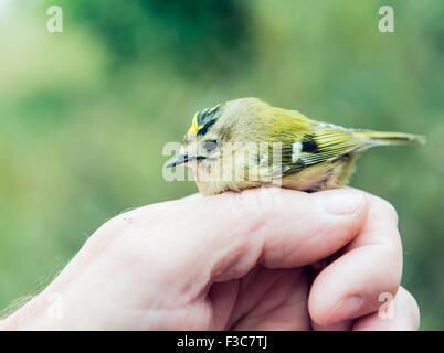 Bird ringing - Stock Photo