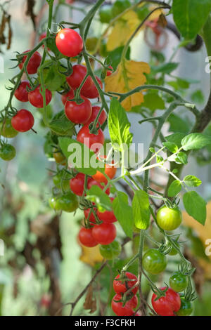 how to grow cherry tomotoes in pots