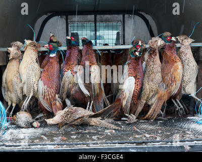 Dead pheasants in the back of a vehicle following a shoot on the North Yorkshire Moors. - Stock Photo