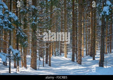 Österreich, Niederösterreich, Lackenhof am Ötscher, verschneiter Wald - Stock Photo