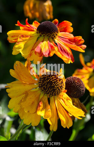 Early October blooms of the Autumnal sneezeweed, Helenium 'Sahin's Early Flowerer ' - Stock Photo