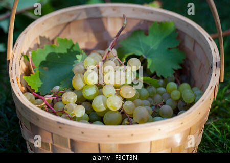 Grapes in the basket Stock Photo
