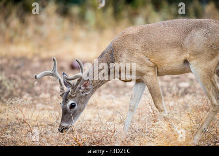 Young Wild South Texas Whitetail deer buck in velvet - Stock Photo