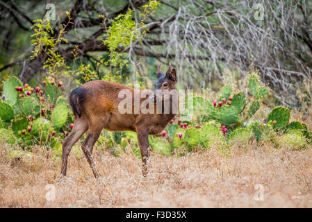 Young wild South Texas Sika deer buck close up. Also known as a Japanese or Spotted Deer. - Stock Photo