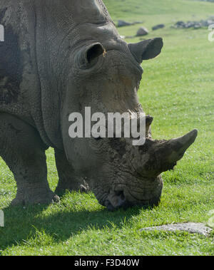 Beautiful portrait of the white rhinoceros on the field