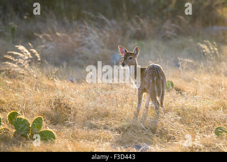 Wild South Texas Axis, Chital, or spotted Deer Fawn. - Stock Photo