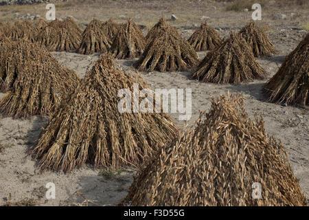 Harvested stook cluster of sesam seed pods (sesamum indicum) drying in the sun in october. - Stock Photo