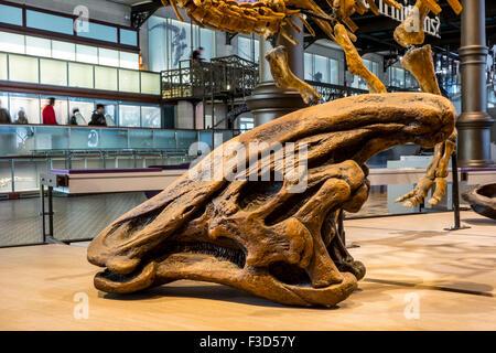 Olorotitan skull in the Royal Belgian Institute of Natural Sciences / Museum of Natural History, Brussels, Belgium - Stock Photo