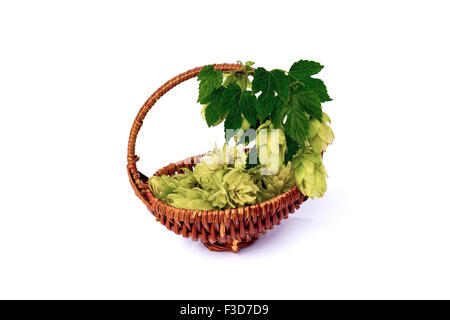 Hops twig and dried flowers in the basket isolated on a white background. - Stock Photo