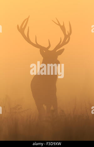 Stag at sunrise in Richmond Park - Stock Photo