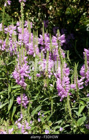Obedient plant, AKA Obedience, False Dragonhead (Physostegia virginiana) - USA - Stock Photo