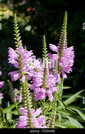 Obedient plant, AKA Obedience, False Dragonhead (Physostegia virginiana) - USA - Stock Photo
