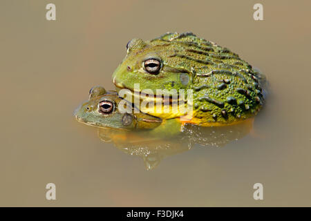 A pair of African giant bullfrogs (Pyxicephalus adspersus) mating, South Africa - Stock Photo