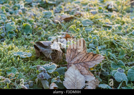 Dry maple leaf on a frost covered grass and moss, cold autumn morning - Stock Photo