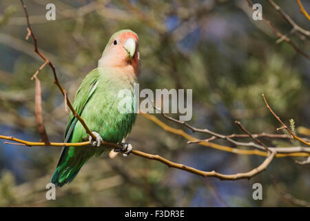 Rosy-faced lovebird (Agapornis roseicollis) adult, South-east Namibia - Stock Photo