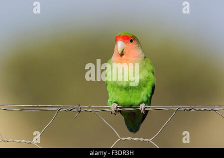 Rosy-faced lovebird (Agapornis roseicollis) adult on wire fence, South-east Namibia - Stock Photo