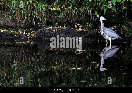 A Heron reflected in the in the Autumn sunshine on the River Irwell, waits to catch its lunch at Burrs Country Park, - Stock Photo