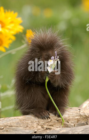 Porcupine (Erethizon dorsatum) baby in a meadow. Captive Animal - Stock Photo