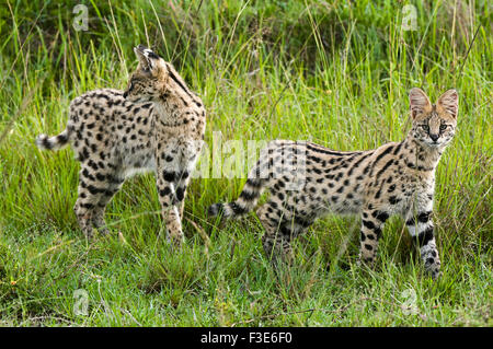 Serval Cat (Felis serval) mother and older baby, Masai Mara National Reserve, Kenya, Africa - Stock Photo