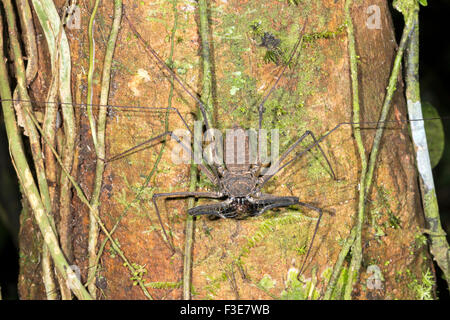 Tailless whipscorpion (Amblypygid) eating a prey item on a rainforest tree trunk in Ecuador - Stock Photo