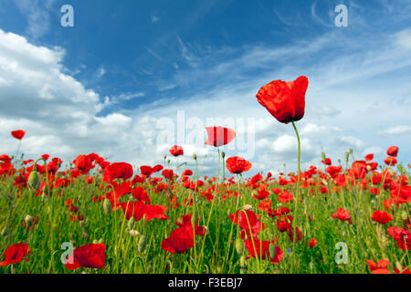 Common poppies / red poppy (Papaver rhoeas) flowering in field in summer - Stock Photo