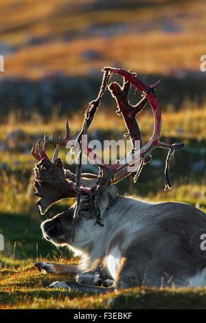 Svalbard reindeer (Rangifer tarandus platyrhynchus) male shedding velvet from antlers lying on the tundra, Spitsbergen, - Stock Photo