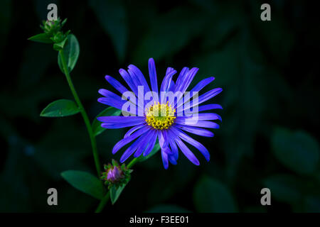 A flower of the plant, Aster Alpinus, or Michaelmas Daisy, specifically Aster Mönch - Stock Photo