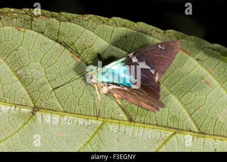 Skipper butterfly (Family Hesperidae) on a leaf in the rainforest, Ecuador - Stock Photo