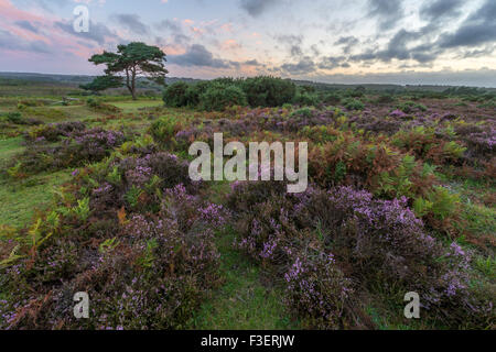 A single pine tree at Bratley View in the New Forest. - Stock Photo