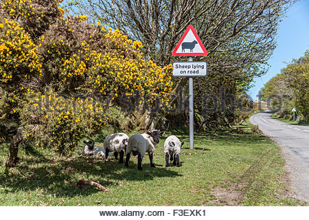 Scottish Blackface Sheep standing under a street sign warning pf sheep on the street, Dartmoor National Park, Devon, - Stock Photo