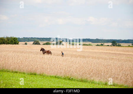 Old-Fashioned Horse Plowing in Wheat Field - Poland - Stock Photo