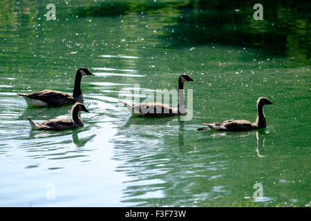 Two Canada Geese, Branta canadensis, swim in a lake with two juvenile Canada Geese. Oklahoma, USA - Stock Photo